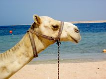 Camel. On the beach in egypt Stock Photography