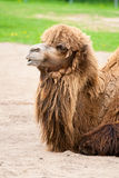 Camel. Portrait of a large and beautiful red-haired camel stock images
