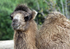 Free Camel Royalty Free Stock Photo - 16644465