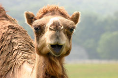Camel. Looking with camera stock photos