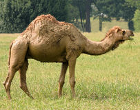 Camel. In the Field royalty free stock photo