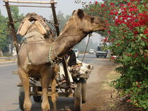 Camel. As a normal Indian transport ... who likes flowers which are growing on the roadside Royalty Free Stock Images