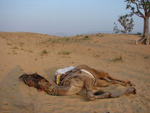 Camel. Is sleeping in desert after long, tiresome riding. Soon he will be ready for riding again Royalty Free Stock Photography