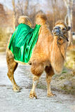 Camel. Photo of a camel close up Royalty Free Stock Image
