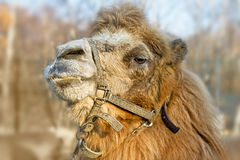 Proud camel. Portrait of a camel close up Royalty Free Stock Photos