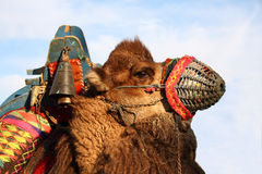 Camel. Pending the ornate camel camel wrestling Stock Images