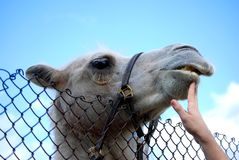 Camel Royalty Free Stock Photos