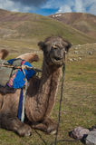 Camel. Resting after a long trip in Mongolia Stock Image