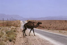 Camel. Lone free camel crossing a road in southern Morocco Royalty Free Stock Photos