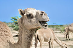 Camel Royalty Free Stock Photo