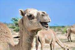 Camel. A Camel at Al Jebel Al Akhdar (Green mountain) Sultanate of Oman Royalty Free Stock Photo