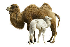 Camel royalty free stock image