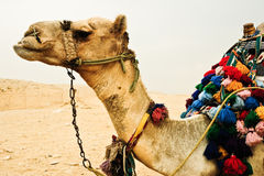 Camel. A picture of a camel, taken near the Great pyramid in Giza/Cairo Stock Photo