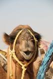 Camel. A camel in the desert Stock Photo