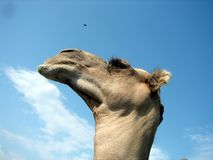 Camel. I thought this was an interesting shot of a camel. I did not notice the flying bird until I looked at the picture closely stock image