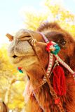 Camel. Funny expression on the face of a camel Stock Image