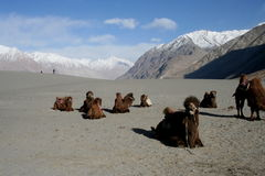 Camel. A double hump camel in the nubra valley of Ladakh Region, India Royalty Free Stock Image