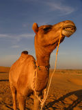 CAmel. Showing his teeth Royalty Free Stock Images