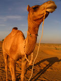 Camel. Portrait. Great for desert, , adventure subjects Stock Photo