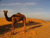 Camel. In Jaisalmer Desert. India. Dunes and colors Stock Image