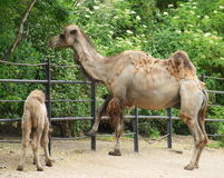 Free Camel Royalty Free Stock Images - 19823979