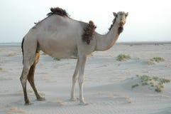 Camel 2 stock photo