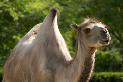 Camel. A Camel graising near green vegetation in summer stock image
