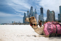 Camel. Stock Photo