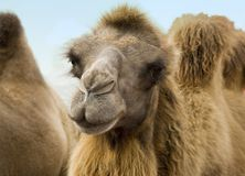 Camel. Close up shot of the head of a Camel royalty free stock photography