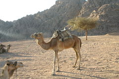 Camel. In South Sinai Desert Royalty Free Stock Images