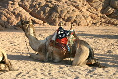 Camel. In South Sinai Desert stock image