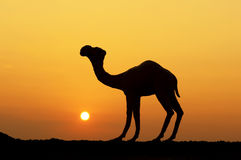 Camel. Silhouette of a camel at sunset Stock Photo