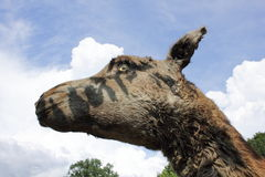 Camel. Head of the wild camel in the background of clouds Stock Image
