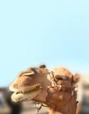 Camel. Closeup of happy camel face Stock Photos