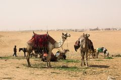 Camel. S, standing in cairo by the pyramids Stock Image