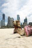 Camel. Royalty Free Stock Image