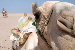 Camel. Tourist on camel in egyptian Sahara led by guide Stock Photos