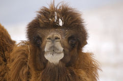 Camel. Looking at you (portrait Royalty Free Stock Photos