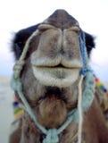 Camel. Face camel Royalty Free Stock Photos