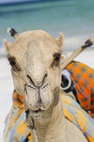 Camel. Seen from the side, africa royalty free stock image