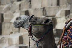 Camel. In the Egyptian desert Stock Photos