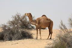 Camel. In the sand dune in desert UAE Stock Photos