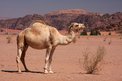 Free Camel Royalty Free Stock Photo - 27217145