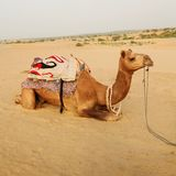 Camel. Having a break in the desert of Khuri Stock Photo
