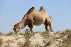 Camel. The ship of the desert royalty free stock images