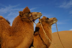 Camel. Portrait in China desert stock photography