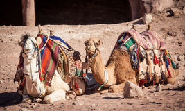 Camel. A pair of Jordanian Camels waiting for passangers Stock Image