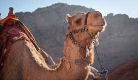 Camel. A pair of Jordanian Camels waiting for passangers Stock Photography