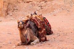 Camel. Sitting on a desert land Royalty Free Stock Photo