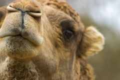 Camel. Face, mouth and eye of camel royalty free stock photos
